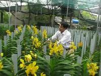 Thu lãi cao nhờ trồng phong lan Mokara