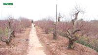 Cận cảnh làng đào lớn nhất cả nước dịp giáp Tết