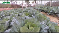 Biến dải phân cách đại lộ nghìn tỷ thành ruộng rau
