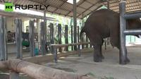 Cảm động hình ảnh về chú voi lần đầu đi lại bình thường nhờ chân giả