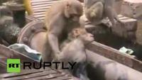 Cảm động cảnh khỉ cứu bạn bị điện giật