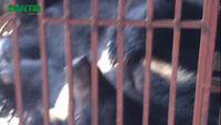 Xâm nhập lãnh địa nuôi gấu lớn nhất miền Bắc