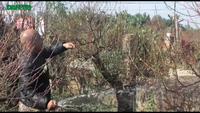 Đào Nhật Tân bung nở sớm đón Tết dương lịch trong giá rét