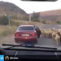 Lái ôtô trộm cừu nhanh như chảo chớp