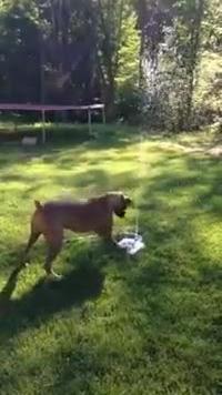 Chú chó có cách uống nước rất thông minh