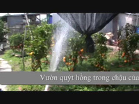 Vườn quýt hồng trong chậu của ông Lưu Văn Ràng - Lai Vung, Đồng Tháp