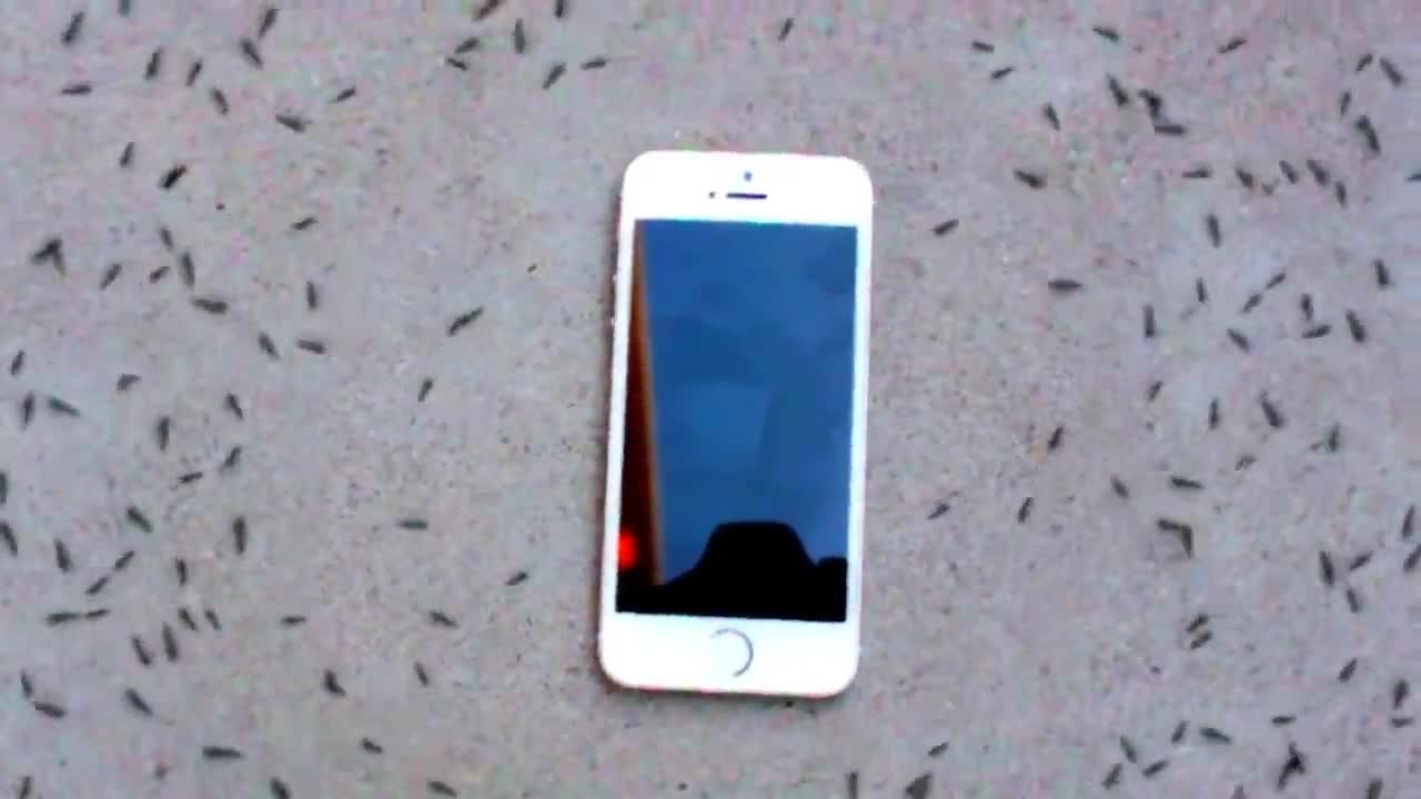 """Kỳ lạ cảnh đàn kiến """"diễu hành"""" xung quanh iPhone"""