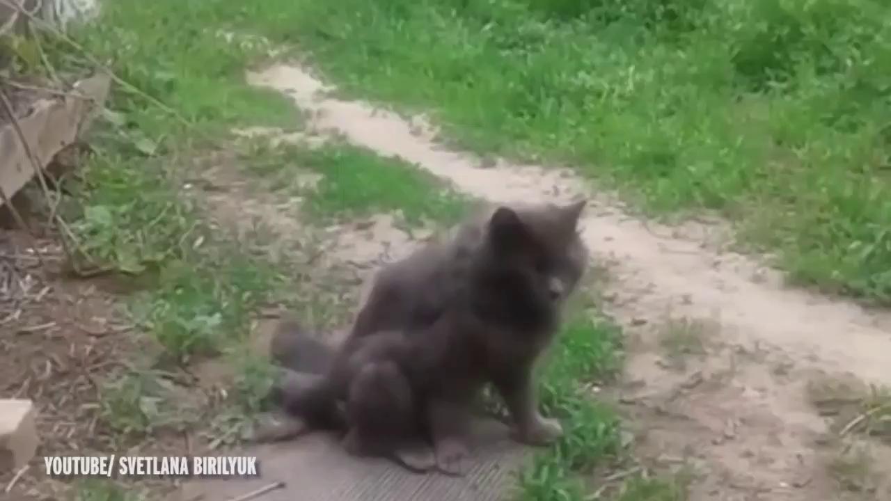 """Chú mèo 3 đuôi bị nghi ngờ là """"sản phẩm"""" không mong muốn của phóng xạ hạt nhân"""