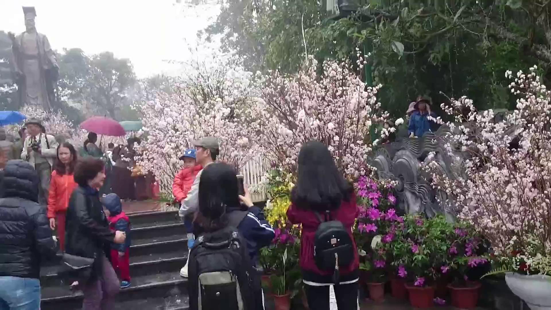 Ngắm hoa anh đào Nhật Bản nở rộ trong mưa xuân Hà Nội
