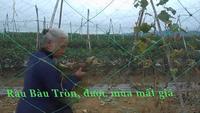 Clip người dân Bàu Tròn nói về rau rớt giá