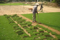 Trồng cỏ ở Hội An