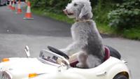 Barry, chú chó lái xe Rolls-Royce