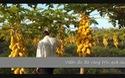 Vườn đu đủ vàng trĩu quả của anh Lộc ở Hậu Giang.