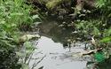 Hà Nội: Ruộng rau lớn ngập nước thải bẩn hôi thối