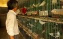 Bình Định: Bí kíp nuôi chim bồ câu Pháp cho thu nhập cao