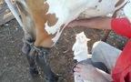 Mèo háo hức để chờ uống... sữa bò