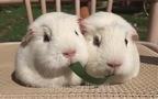 2 chú hamster béo núc giành ăn cực đáng yêu