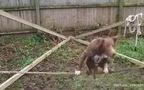 Chú cún này thăng bằng trên dây cực siêu như diễn viên xiếc