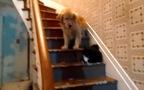 Mèo làm mặt hung tợn khiến cún run sợ ko dám xuống cầu thang