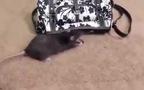 Chuột bây giờ thành tinh rồi...