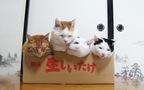 Mèo béo Shironeko và đoàn thê thiếp tận hưởng hộp giấy