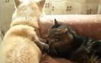 Khi mèo trở thành thợ massage riêng cho cún