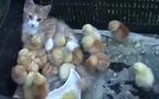 Bà mẹ mèo bất đắc dĩ của đàn gà con