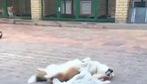 Những ngày nắng nóng, cún Corgi làm gì?