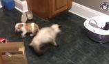Nuối cún và mèo chung nhà thì sẽ như này