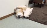 Cún và tư thế ngủ cực lầy