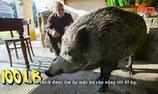 Cặp vợ chồng nuôi lợn rừng khổng lồ làm thú cưng