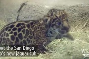 Báo đốm con 5 tháng tuổi gây sốt vườn thú San Diego