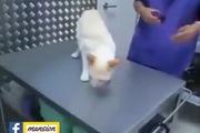 """Độc chiêu để bác sĩ thú y làm mèo """"đứng hình"""""""