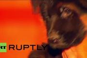 """Chú cún Nga tặng Pháp để thay thế """"người hùng 4 chân"""""""