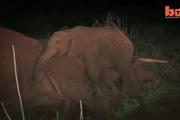 Cảm động cảnh voi con kiệt sức nhất quyết không chịu rời xác mẹ