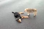 Chú cún buồn rầu tiếc thương bạn không rời vì bị xe cán chết