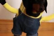 Bật cười với 2 bé cún đáng yêu cosplay Minion ngộ nghĩnh