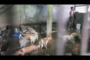 Kinh hoàng chó bị nhồi tàn bạo trước khi bán để làm thịt