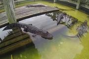 """Chú cá sấu """"dễ thương"""" nhất quả đất"""