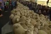 """Cảnh tượng lạ: Cừu """"di cư"""" qua đường phố"""