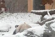 """Gấu trúc """"phát cuồng"""" khi lần đầu nhìn thấy tuyết"""