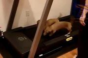 Khi thú cưng cũng đam mê máy tập chạy