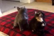 Khi mèo con cũng phiêu với nhạc...