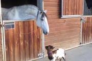 Dê con ti toe cụng đầu với ngựa
