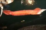 Ngư dân Nhật Bản câu được mực khổng lồ dài tới 6 mét