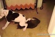 Luôn bị bắt nạt, cún đáp trả bằng chiêu ngồi lên mặt mèo