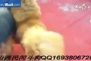 Rùng mình khi xem lễ hội chọi chó đẫm máu ở Trung Quốc