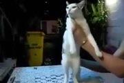 Khi mèo nhảy sexy...