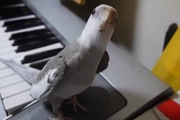 Khi vẹt cao hứng ca hát...