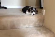 Chú cún chân ngắn bẽn lẽn không dám xuống cầu thang